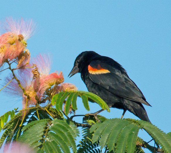 Red Winged Blackbird 116