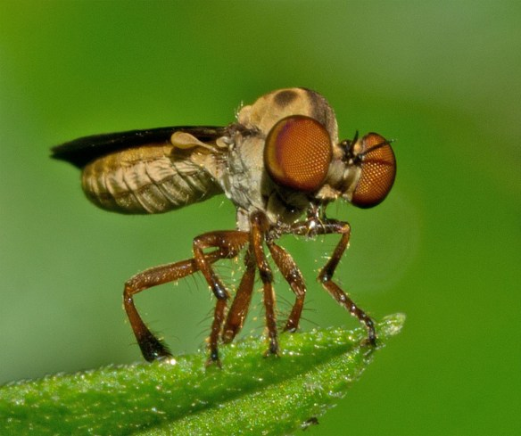 Robber Fly 20