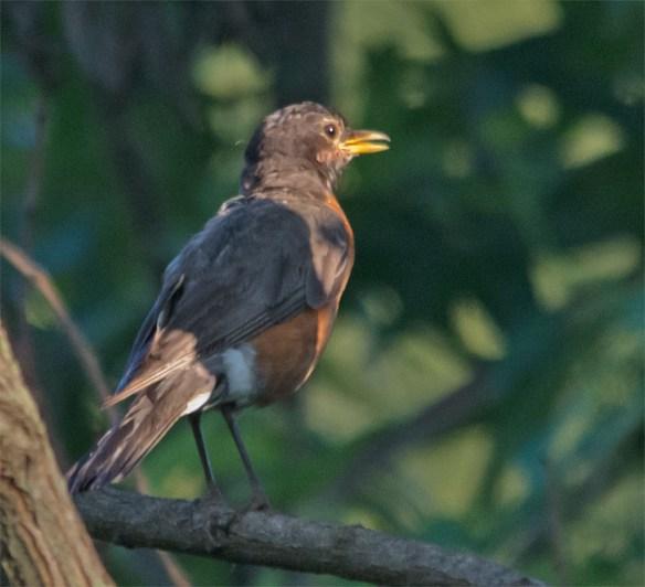 Robin 68