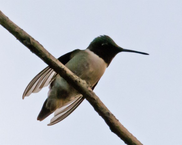 Ruby Throated Hummingbird 309