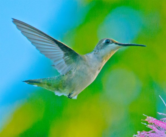Ruby Throated Hummingbird 326