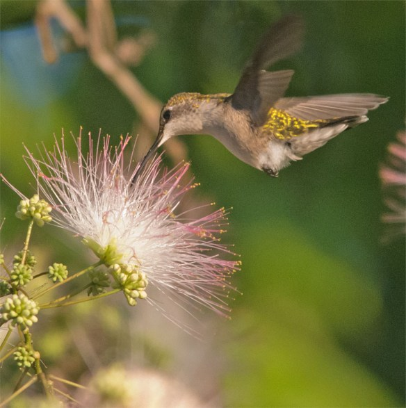 Ruby Throated Hummingbird 332
