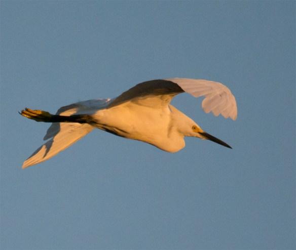 Snowy Egret 135
