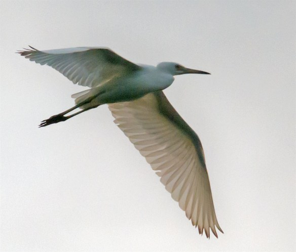 Snowy Egret 139