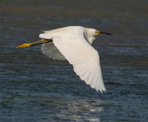 Snowy Egret 140