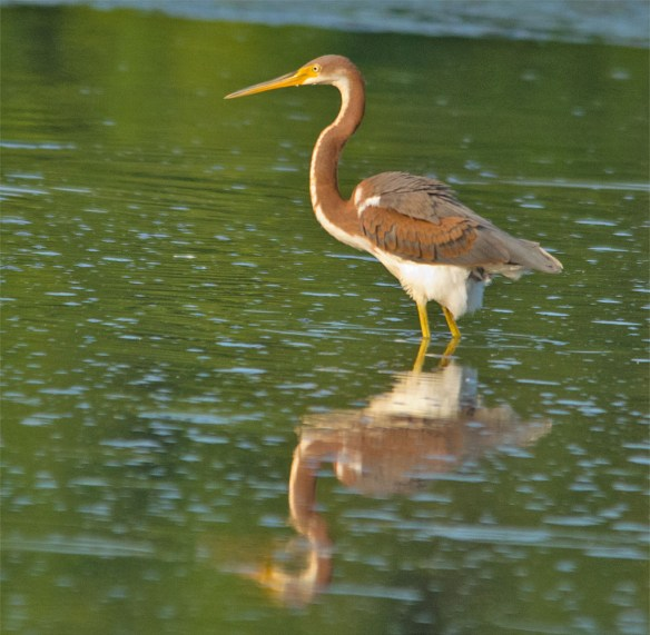 Tri Colored Heron 1