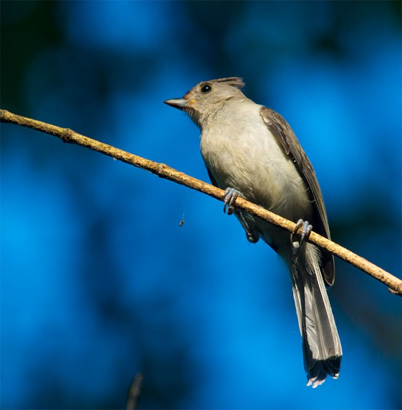Tufted Titmouse 202