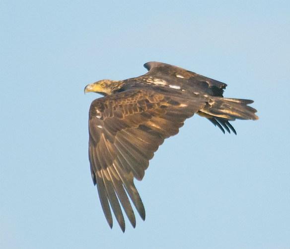 Bald Eagle 422