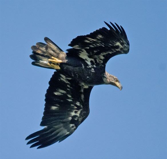 Bald Eagle 423