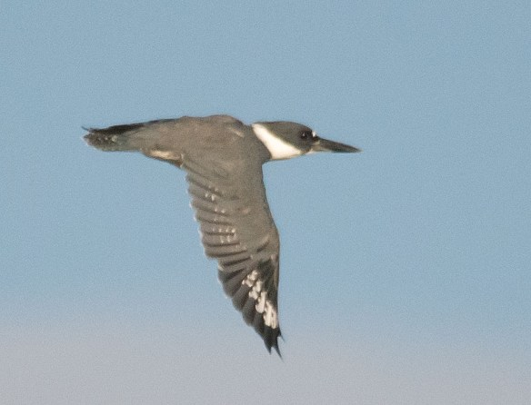Belted Kingfisher 122