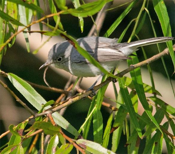 Blue Gray Gnatcatcher 224