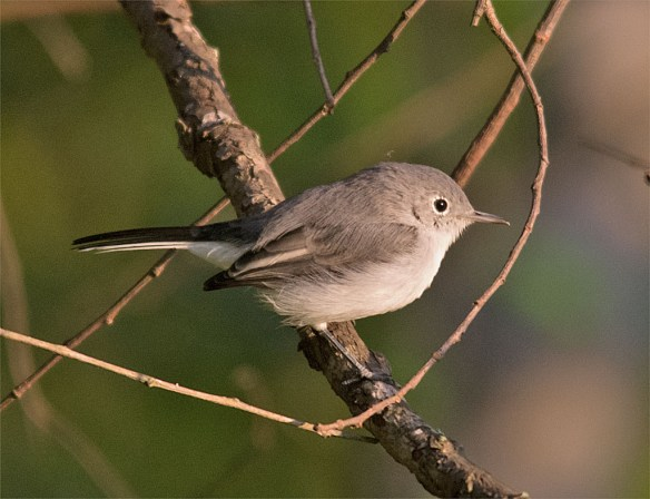 Blue Gray Gnatcatcher 225