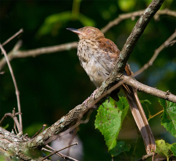 Brown Thrasher 107