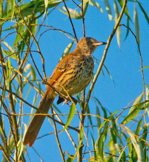 Brown Thrasher 108