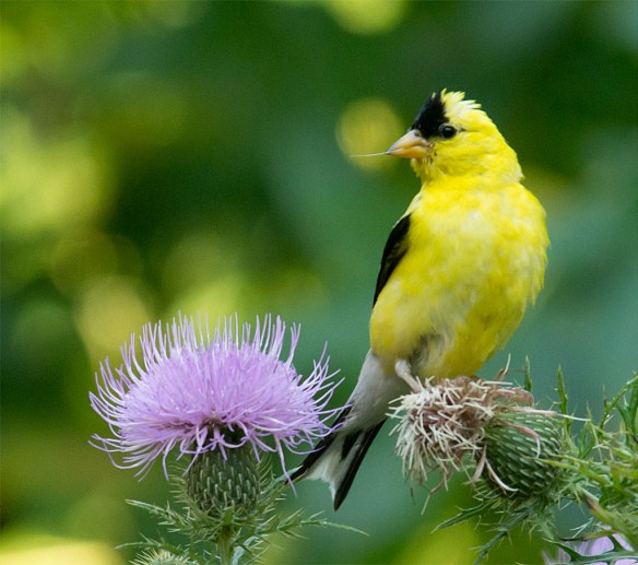 Goldfinch 226