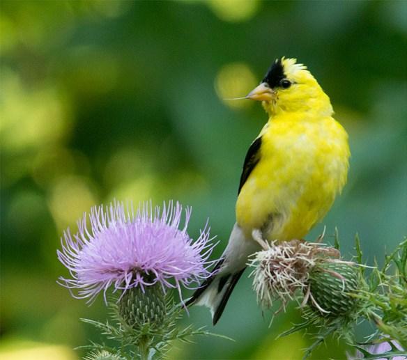 Goldfinch 226