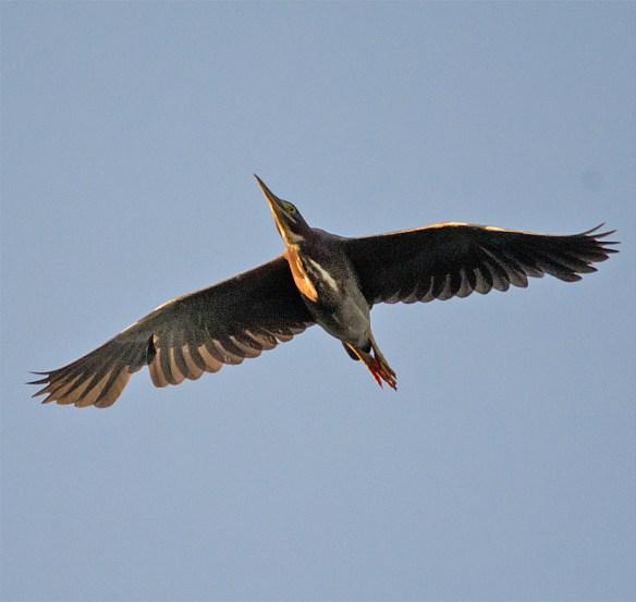 Green Heron 128