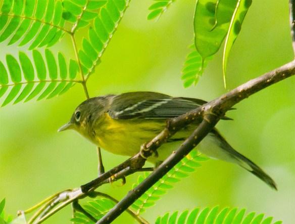 Magnolia Warbler 203