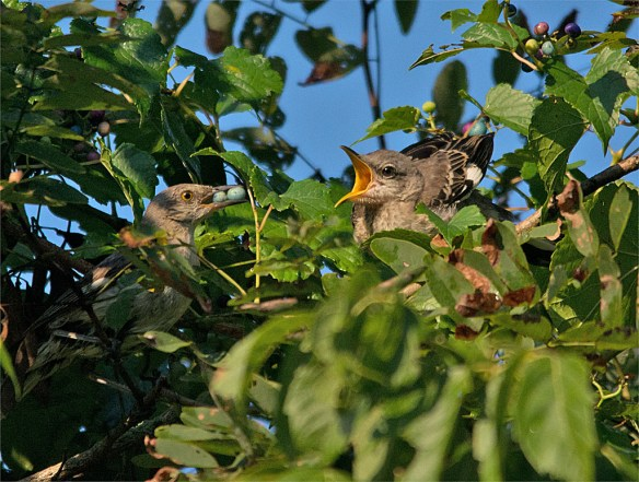 Mockingbird 103