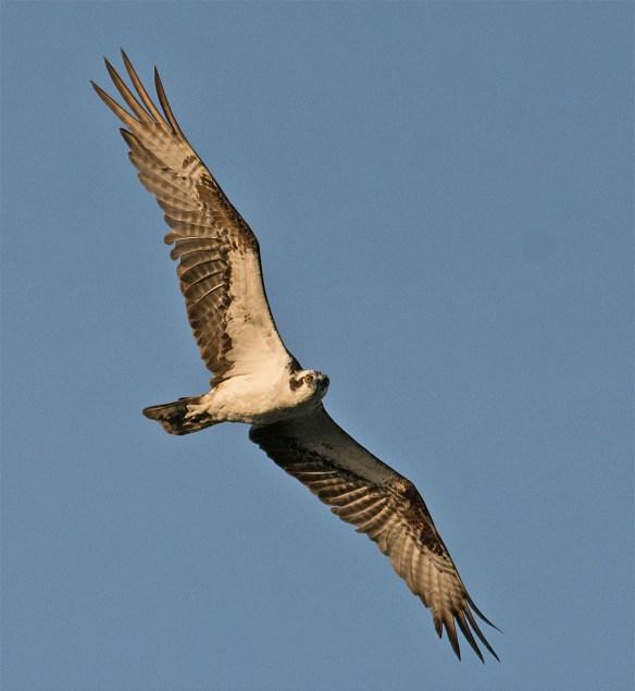 Osprey 370