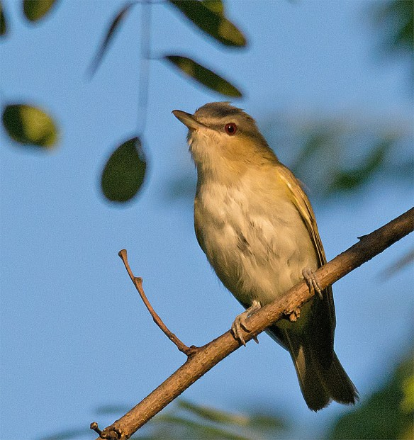 Red Eyed Vireo 307