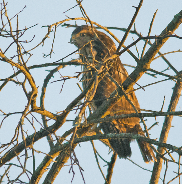 Red Shouldered Hawk 101