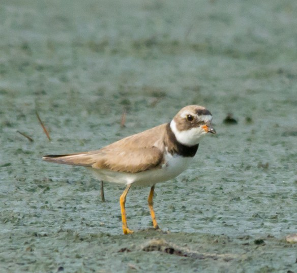 Semipalmated Plover 5