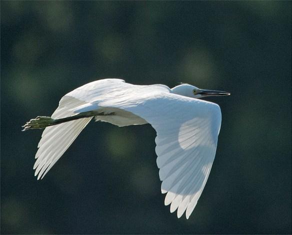 Snowy Egret 143