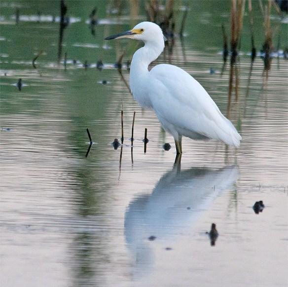 Snowy Egret 144