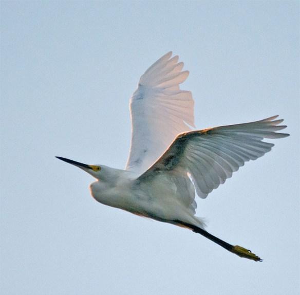 Snowy Egret 145