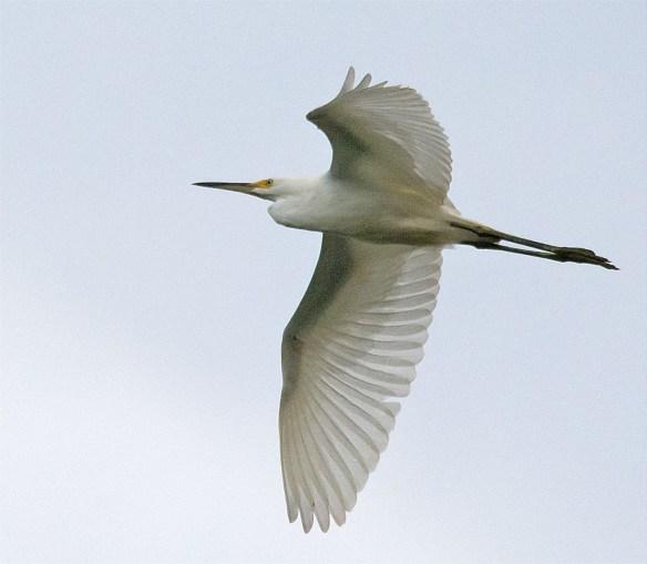 Snowy Egret 157