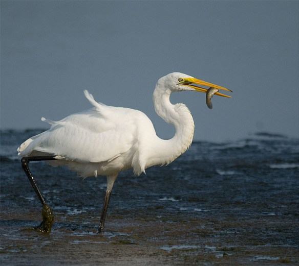 Snowy Egret 176