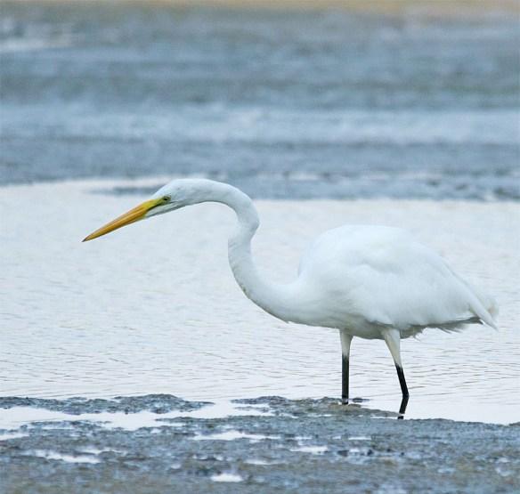 Snowy Egret 178