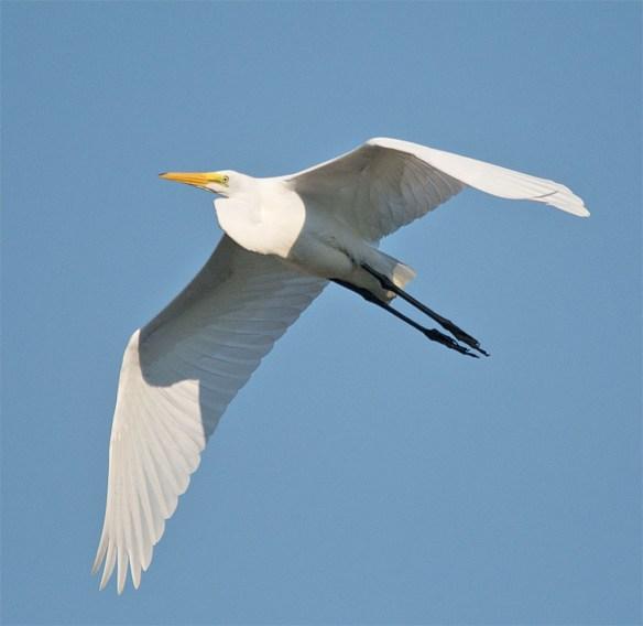 Snowy Egret 179