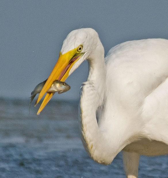 Snowy Egret 180