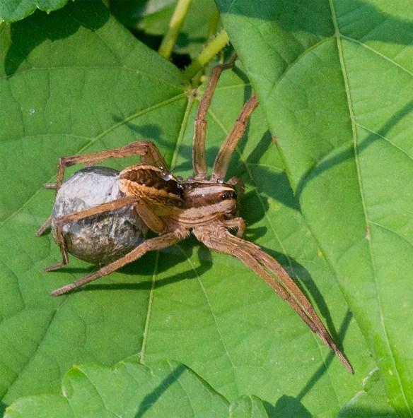 Spider 257
