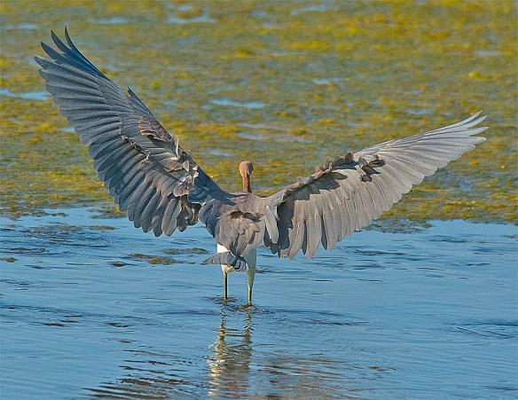 Tri Colored Heron 25