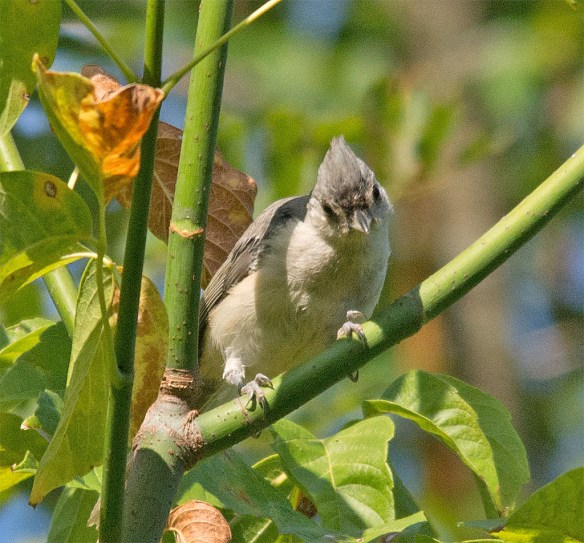 Tufted Titmouse 204
