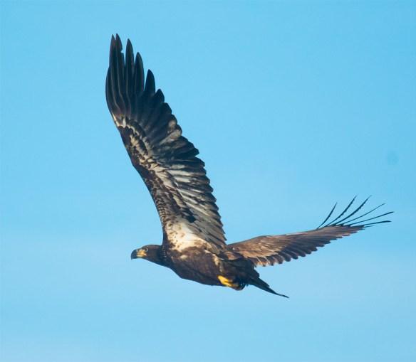 Bald Eagle 428