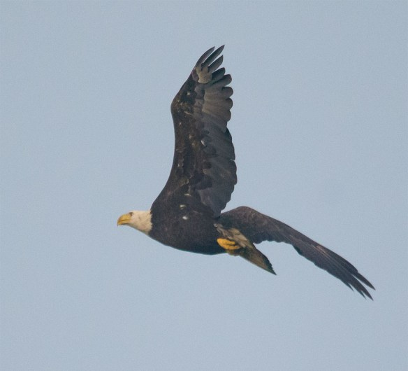 Bald Eagle 429