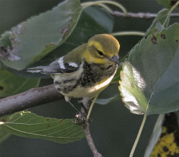 Black Throated Green Warbler 102