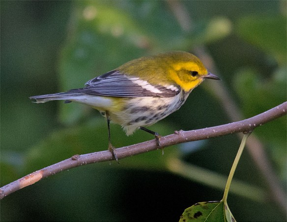 Black Throated Green Warbler 103