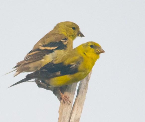 Goldfinch 227