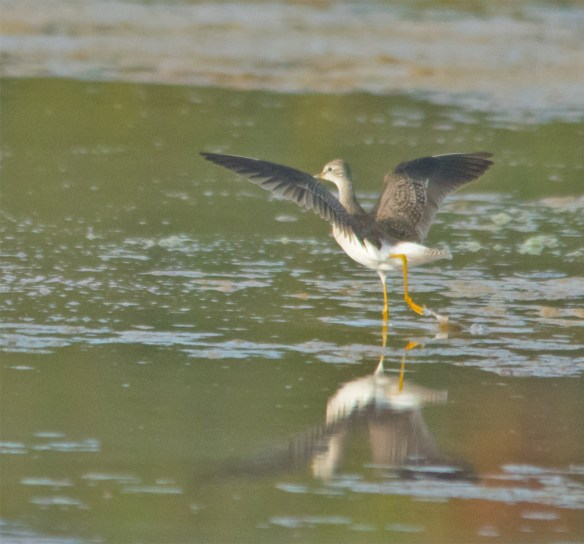 Greater Yellowlegs 105