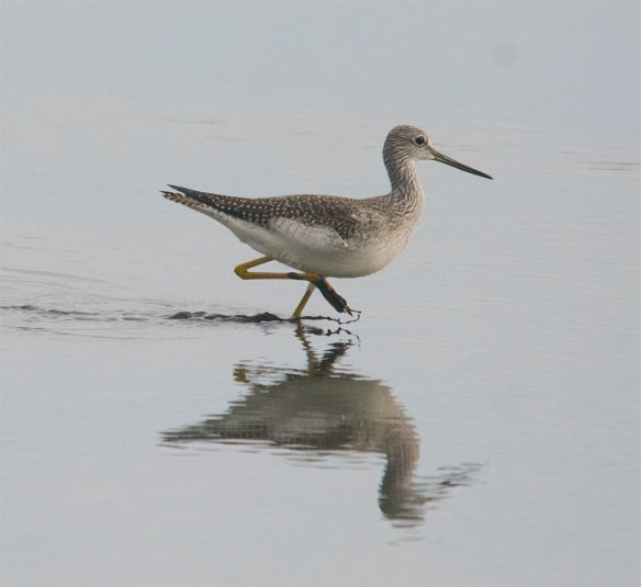 Greater Yellowlegs 106