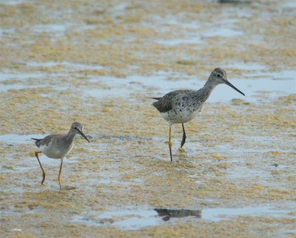 Greater Yellowlegs 107