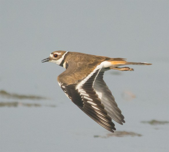 Killdeer 103