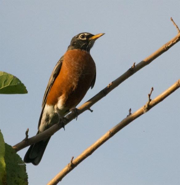 Robin 69