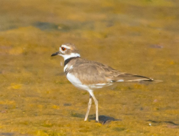 Semipalmated Plover 7