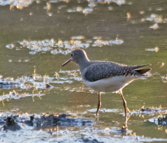 Spotted Sandpiper 100
